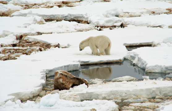 Polar bear on an oily ice in Greenland.