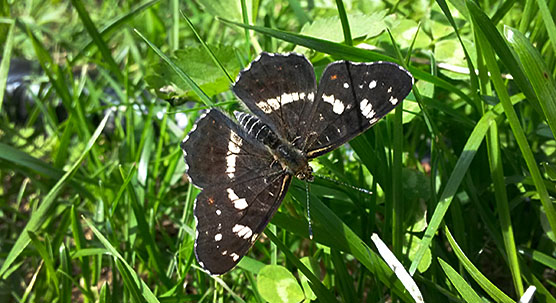 Map butterfly Araschnia levana